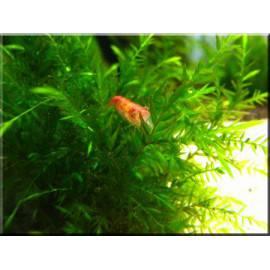 Willow moss - Fontinalis antipyretica