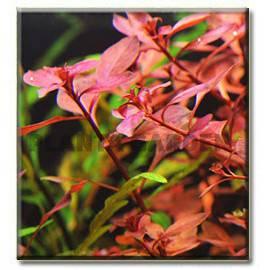 Ludwigia sp. super red