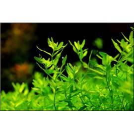 Hemianthus micranthemoides [5 sztuk]