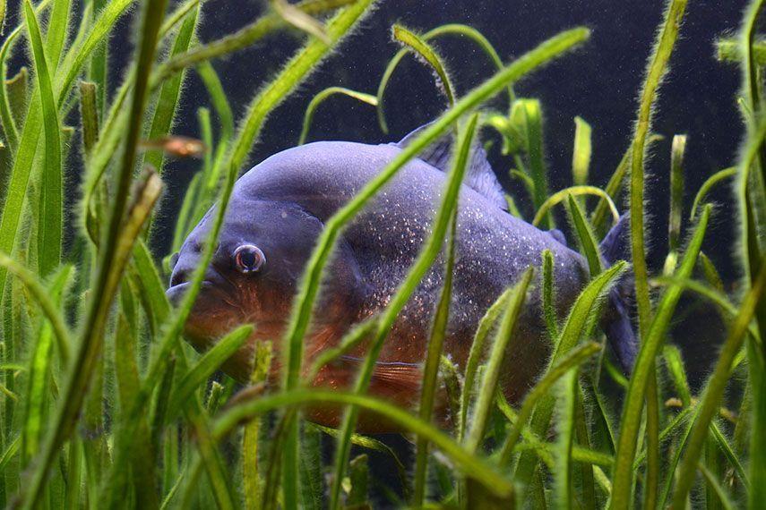 Ryba wśród roślin akwariowych