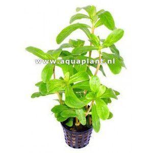Ammania gracilis red [koszyk]
