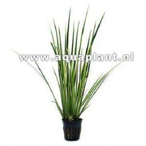 Acorus variegatus white/green [koszyk]