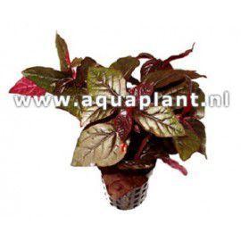 Hemigraphis species red [koszyk]