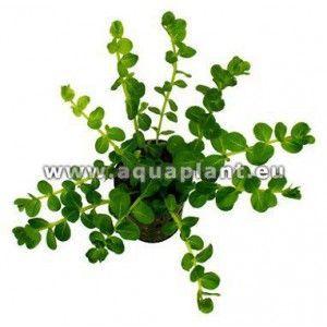 Rotala sp. green [koszyk]