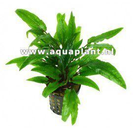 Cryptocoryne green crisped leaf [sadzonka]