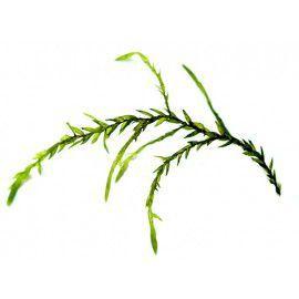 Willow moss - Fontinalis antipyretica - sadzonka