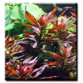 Ludwigia glandulosa [sadzonka]