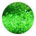 Glossostigma elatinoides [porcja]