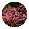 Ludwigia mini sp. super red [sadzonka]