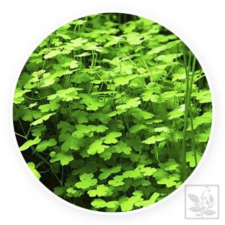 Hydrocotyle tripartita 'japan' [sadzonka]
