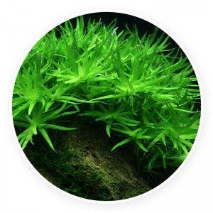 Heteranthera zosterifolia [sadzonka]