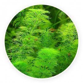Limnophila sessiliflora [sadzonka]