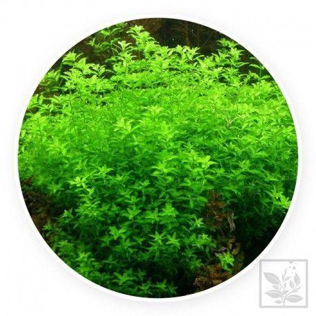 Hemianthus micranthemoides [2 sztuki]