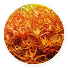 Rotala rotundifolia 'indica' [sadzonka]