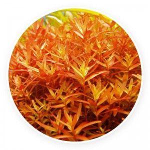 Rotala rotundifolia 'indica'