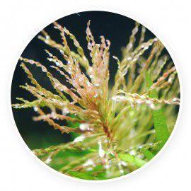 Ludwigia inclinata var. verticillata 'curly/tornado' [sadzonka]