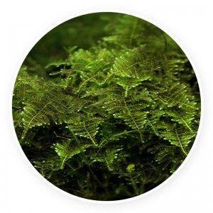 Brazil moss - Vesicularia sp. Kubek 5cm
