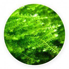 Anchor Moss - Taxiphyllum sp. Kubek 5cm