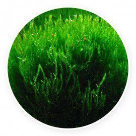 Flame moss - Taxiphyllum sp. Kubek 5cm