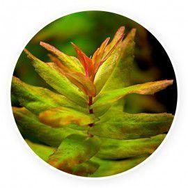 Rotala macrandra 'green'