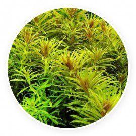 Limnophila aromatica [sadzonka]