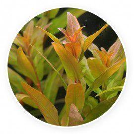 Nesaea crassicaulis [sadzonka]