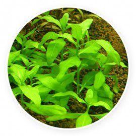 Gymnocoronis spilanthoides [sadzonka]