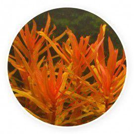 Ammania gracilis [sadzonka]
