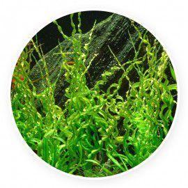 Echinodorus vesuvius