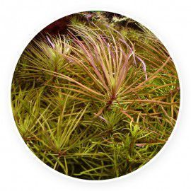 Pogostemon stellatus | Eusteralis stellata [sadzonka]