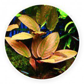 Lagenandra meeboldii [sadzonka]
