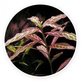 Hygrophila polysperma 'rosanervig' [sadzonka]