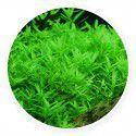 Rotala rotundifolia 'green' [sadzonka]