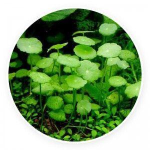 Hydrocotyle verticillata [sadzonka]