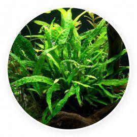 Microsorum minor - thin leaves