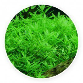 Rotala rotundifolia 'green' [10 sadzonek]