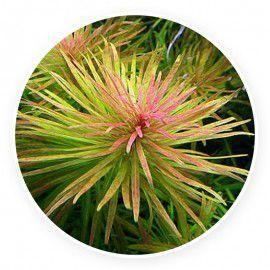 Ludwigia inclinata var. verticillata 'Cuba' [sadzonka]