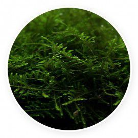 Taiwan moss - Taxiphyllum alternans Kubek 5cm