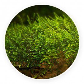 Mini taiwan moss - Isopterygium sp. Kubek 5cm