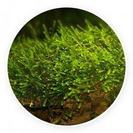 Mini taiwan moss - Isopterygium sp. 1 gałązka
