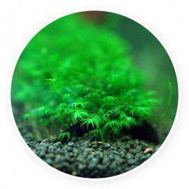 Fox moss - Fissidens fox - 2 gałązki