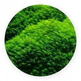 Phoenix moss - Fissidens fontanus - Pojemnik 5cm