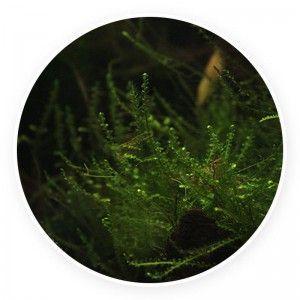 Creeping moss - Vesicularia sp. Kubek 5cm