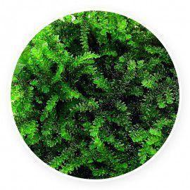 """Callicostela sp. """"Pancuraji"""" Mech Kubek 5cm"""