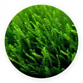 Moss sp. 610 Mech Kubek 5cm