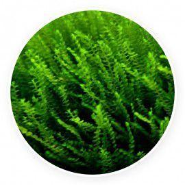 Moss sp. 610 Mech 1 gałązka