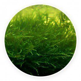 Peacock moss Mech Kubek 5cm