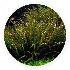 Blyxa japonica [sadzonka]
