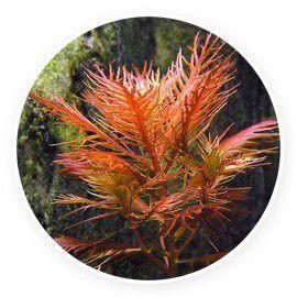 Proserpinaca palustris [sadzonka]