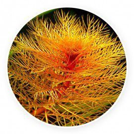 Myriophyllum tuberculatum [sadzonka]